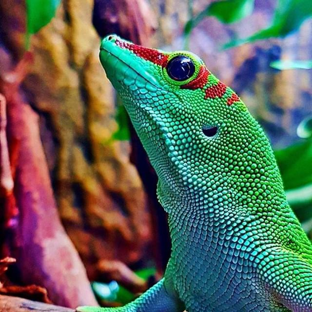 Have you seen a better color on a gecko? . . . . . Photo: Joe Mayger 