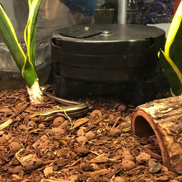 A satisfied skink. Why? The Automatic Reptile Feeder.