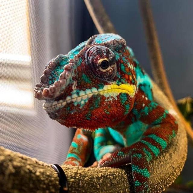 From R to V, this chameleon's got all the colors. . . . . . Photo: Shivam Vasanji