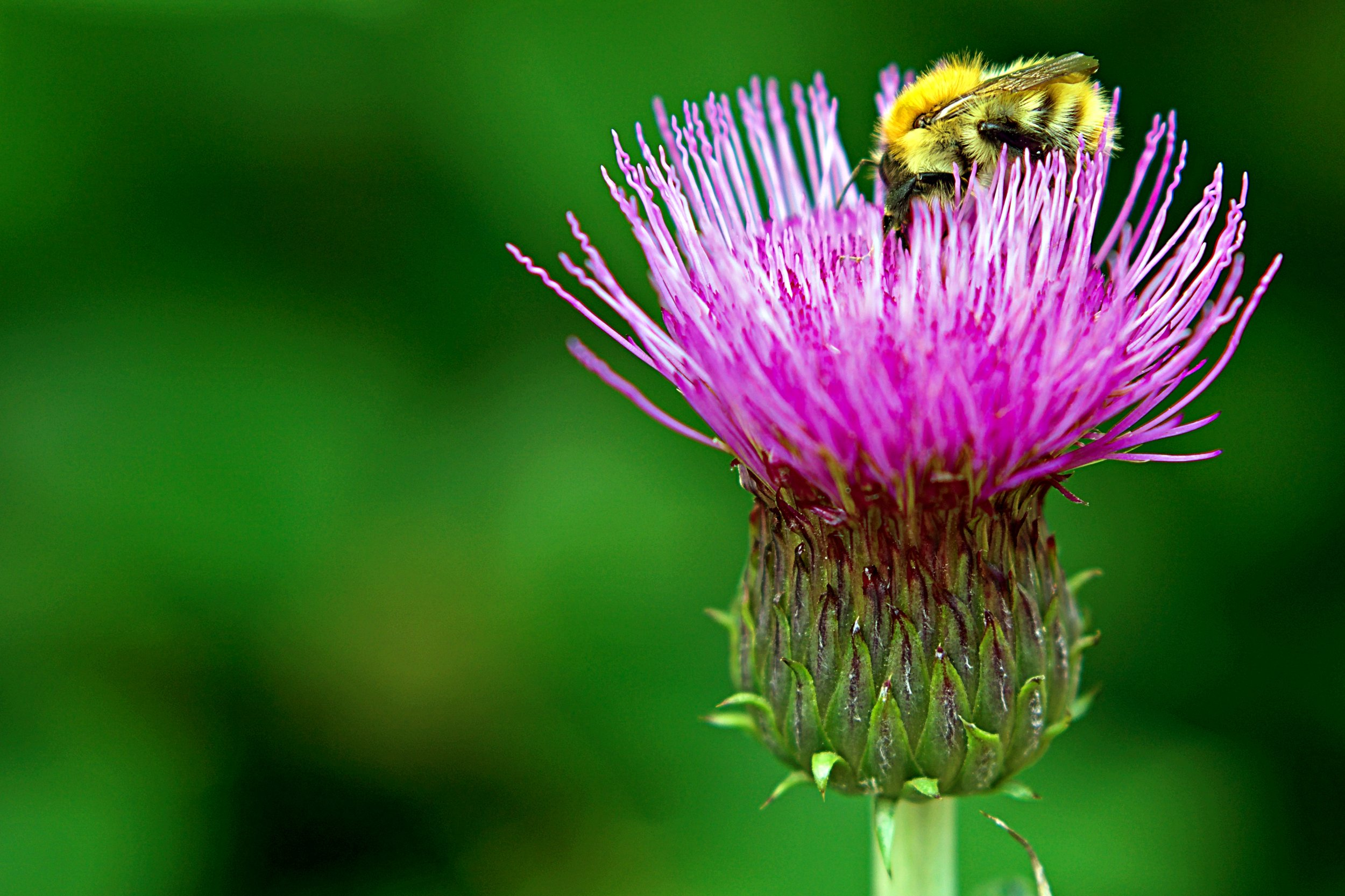 This thistle grows on the banks of the Water of Leith in Edinburgh, Scotland. The thistle is the national flower of Scotland.
