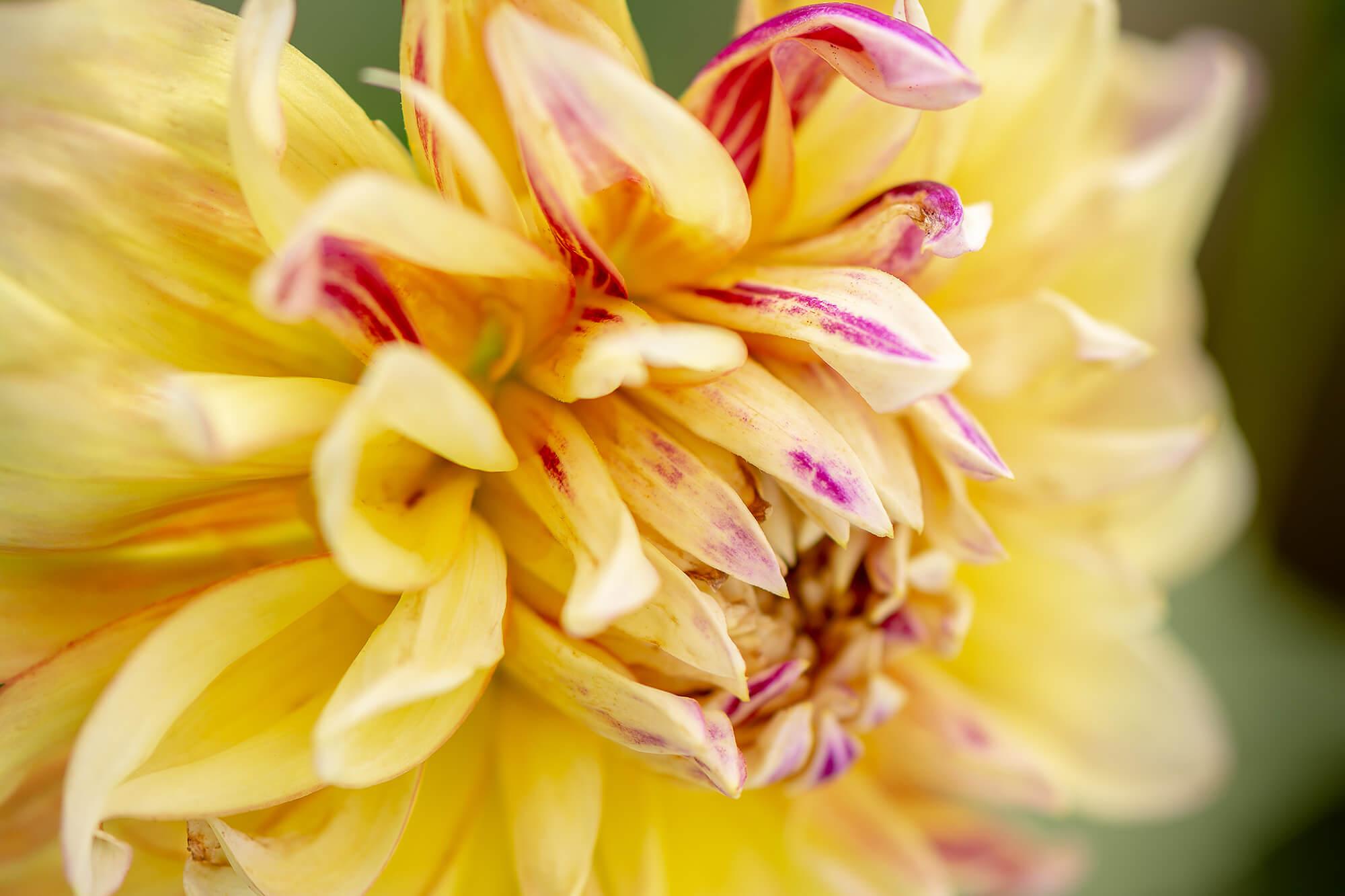 McDougall-Dahlia Flower-8295.jpg