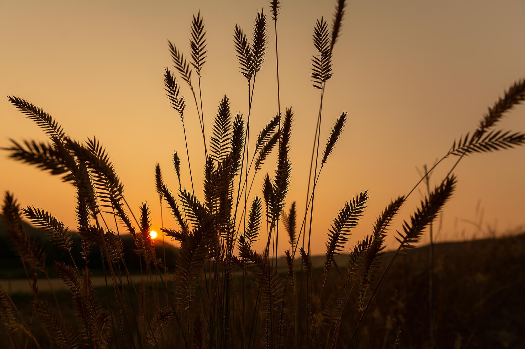McDougall-Prairie Grass Silhouette-7960.jpg