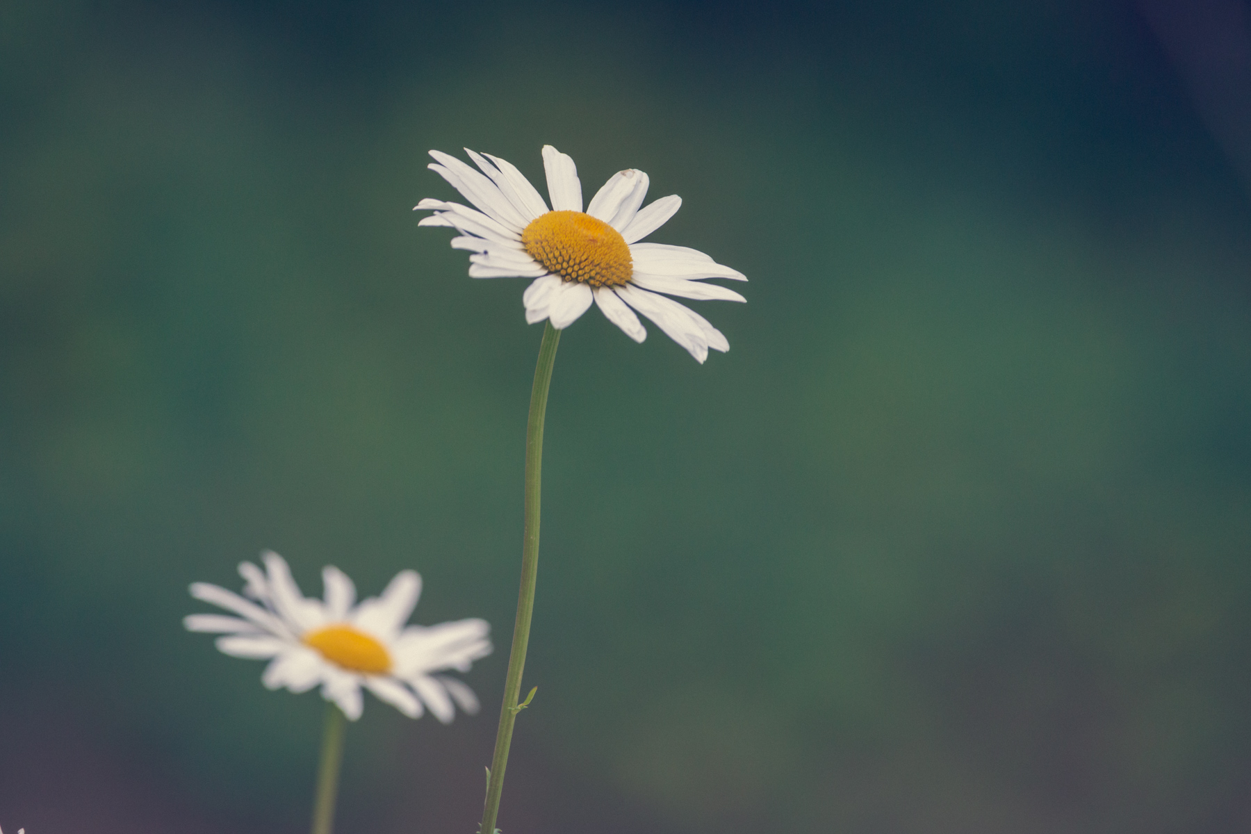 daisies in the wild