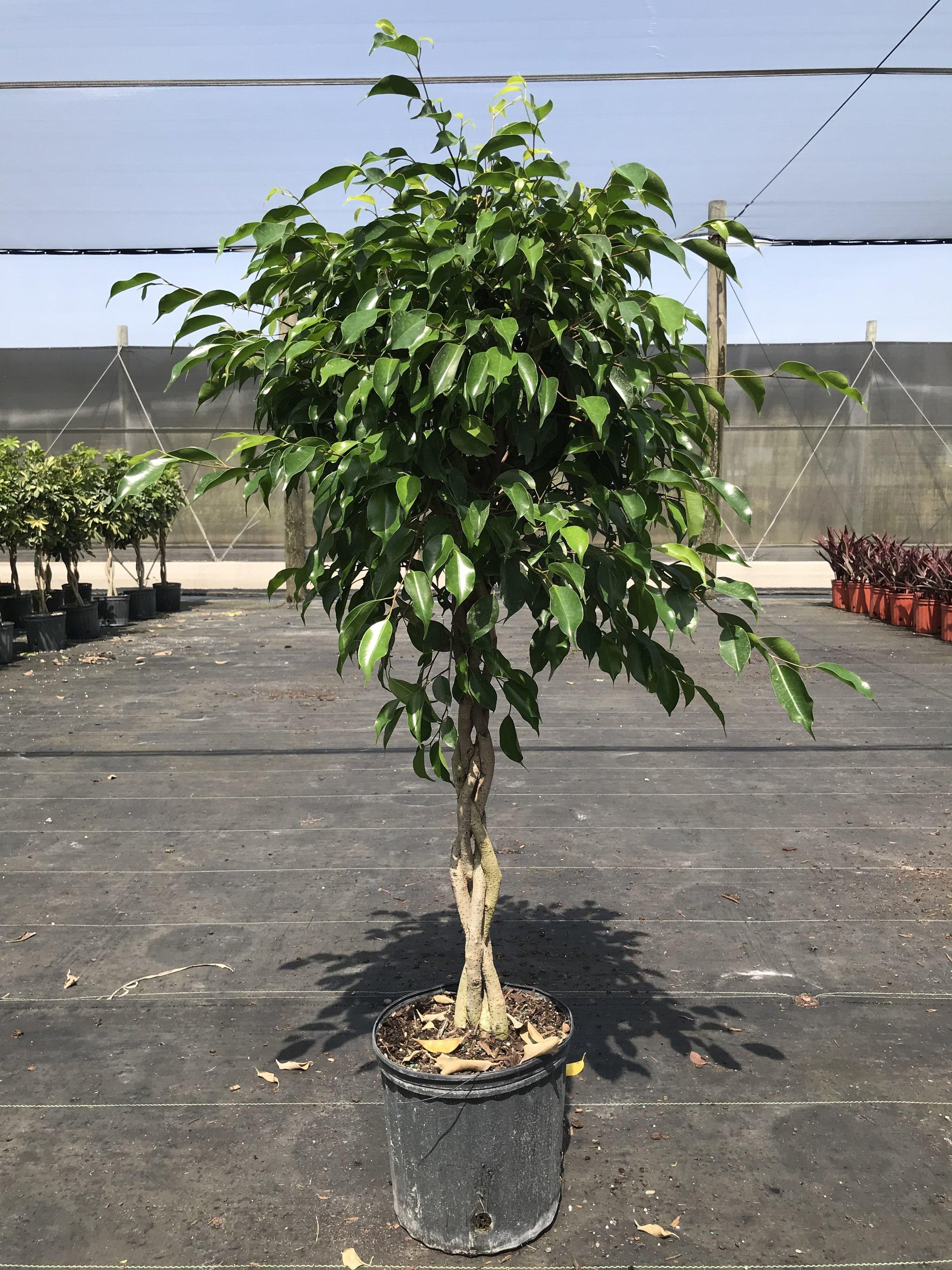 Ficus Benjamina Braid — Guacalina Nursery & Broker