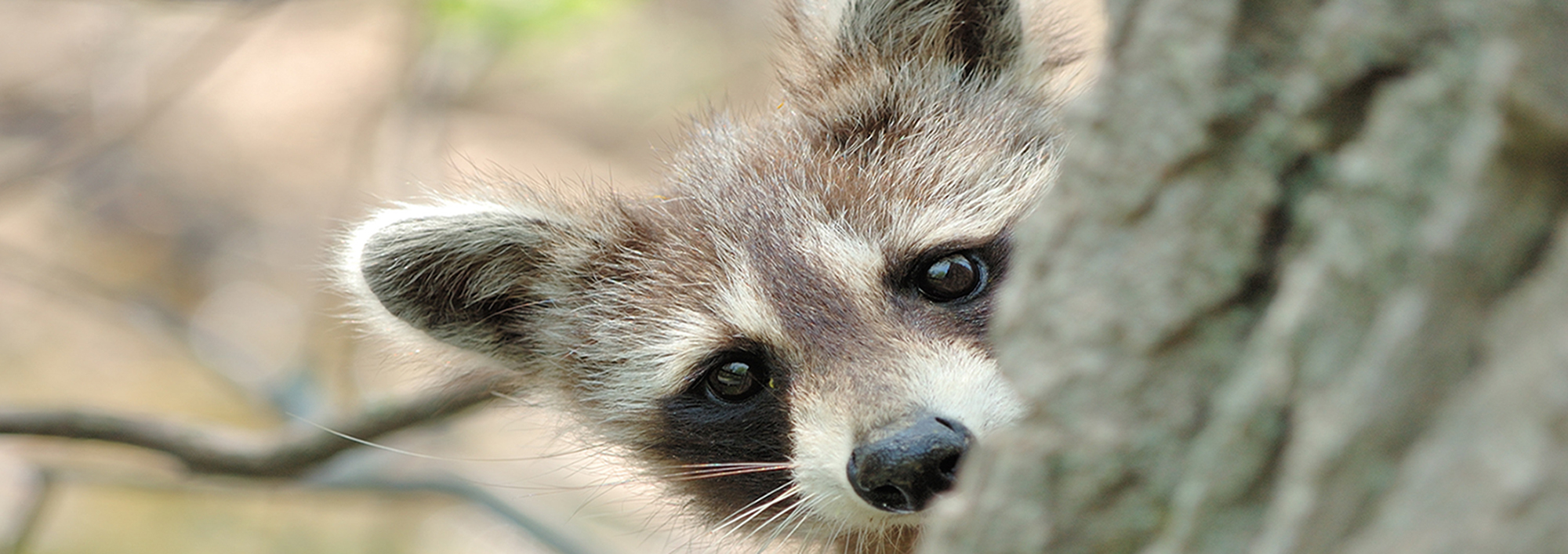 raccoon-header.jpg