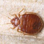 Bedbug-150x150.jpg