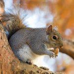 1024px-Eastern_Grey_Squirrel_in_St_Jamess_Park_London_-_Nov_2006_edit-150x150.jpg