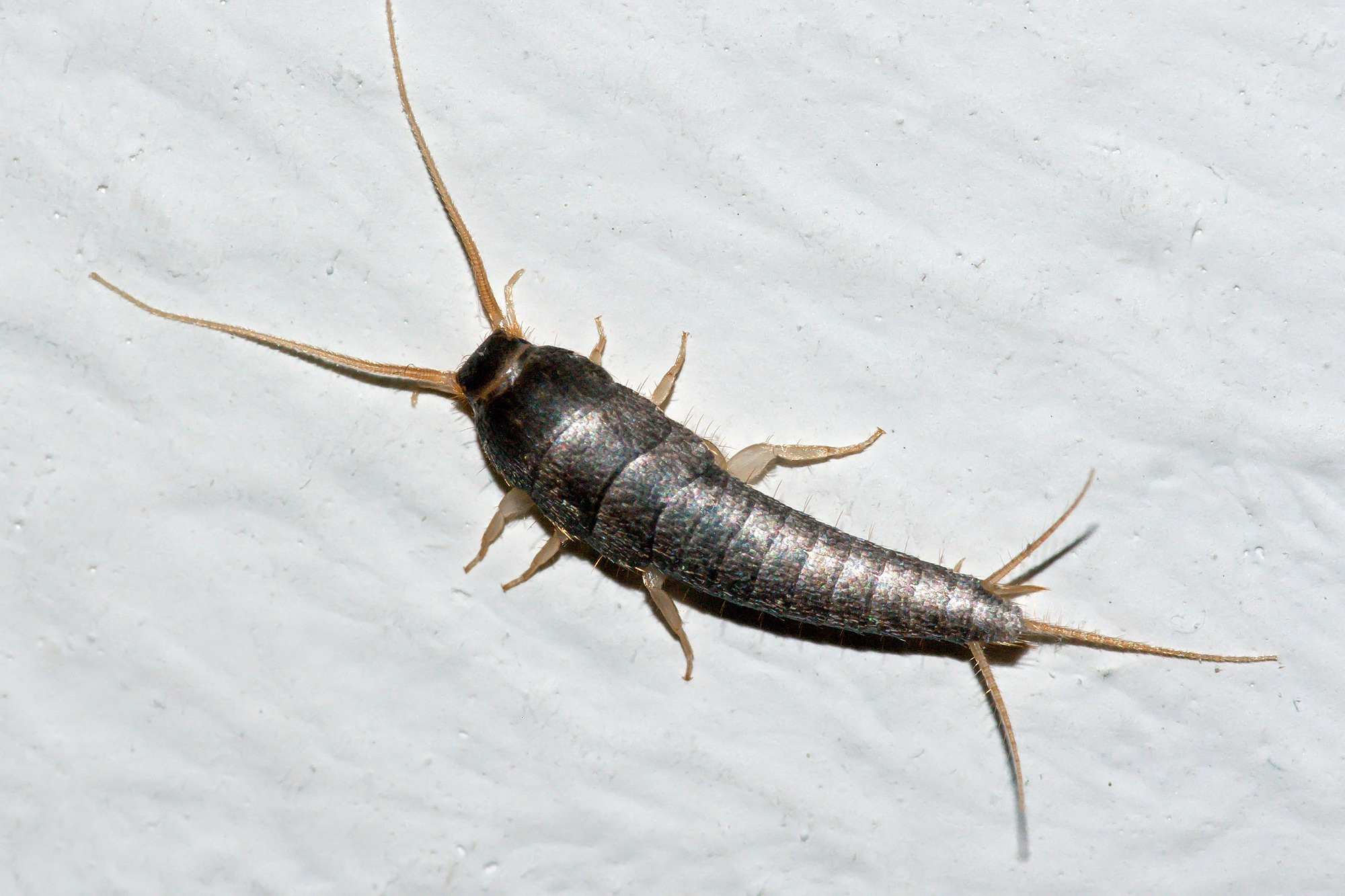 Silverfish - Click to find out more!