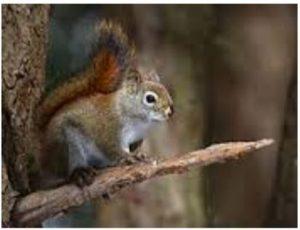 redsquirrel-300x230.jpg