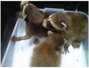 raccoons-300x229.jpg