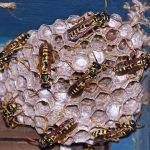 Active_Wasp_Nest-150x150.jpg