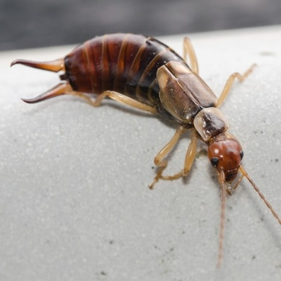 Earwig — St  Lawrence Pest Control