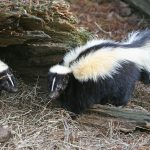 1280px-Striped_Skunk-150x150.jpg