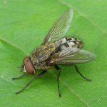 Pollenia-sp-Cluster-fly-20100718a-150x150.jpg