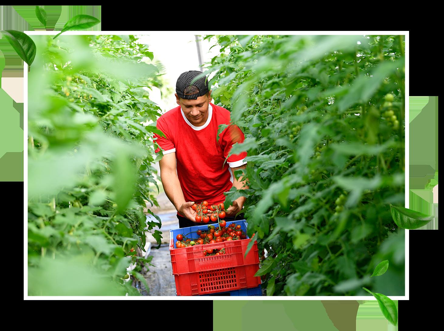 La récolte des fruits et légumes est faite à la main. - Avec le plus grand soin, aux premiers rayons du soleil pour que vous puissiez retrouver, dès le lendemain matin, des fruits et légumes frais en rayon, aux goûts uniques !