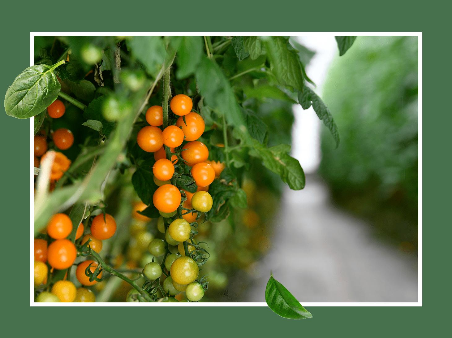 100% des légumes Sandy sont cultivés à La Réunion ! - Et ils le seront toujours… Nos exploitations de fruits et légumes sont situées à Saint-Louis, Saint-Leu, Saint-Pierre et à la Plaine des Cafres.Nous y pratiquons une agriculture responsable avec savoir-faire et passion.