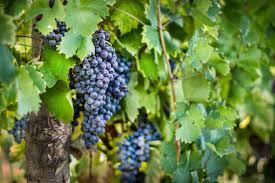 Image of red gradpes on vine.jpeg