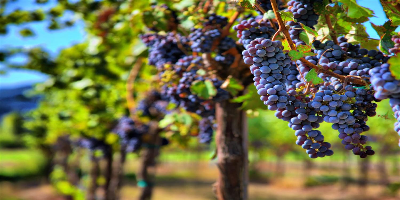 Pretty Grapes.png