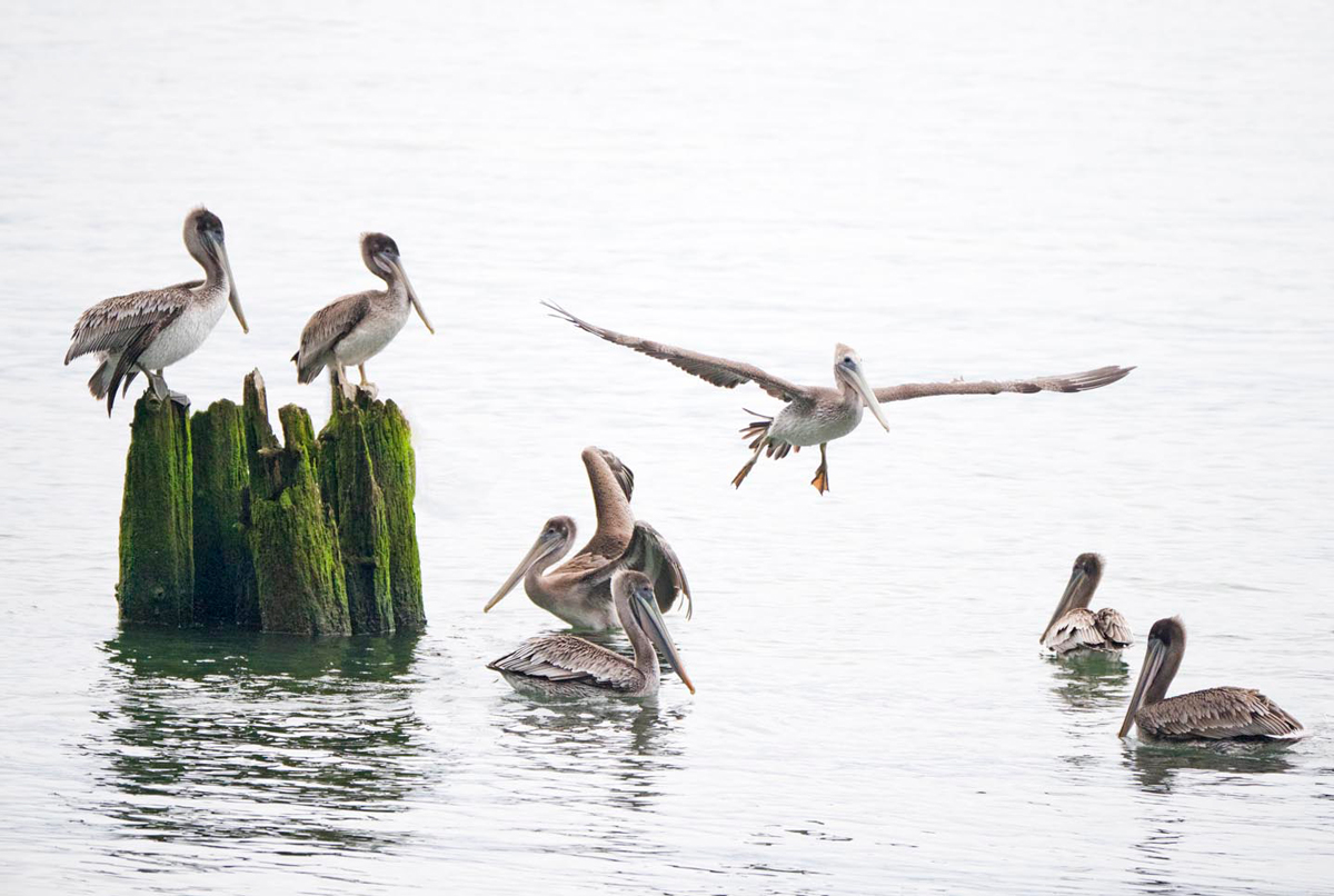 Pelican Social