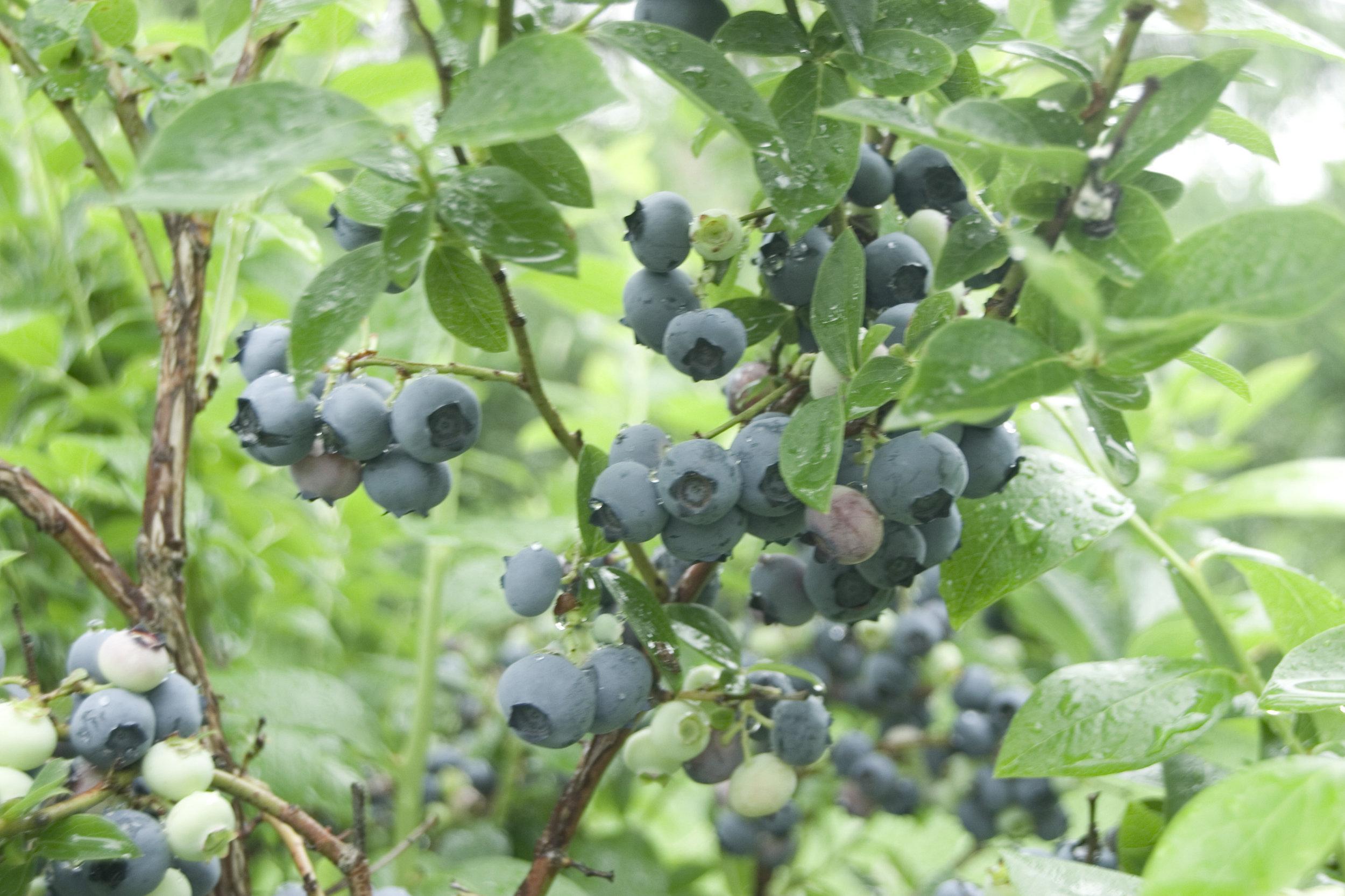 blueberries2.jpg
