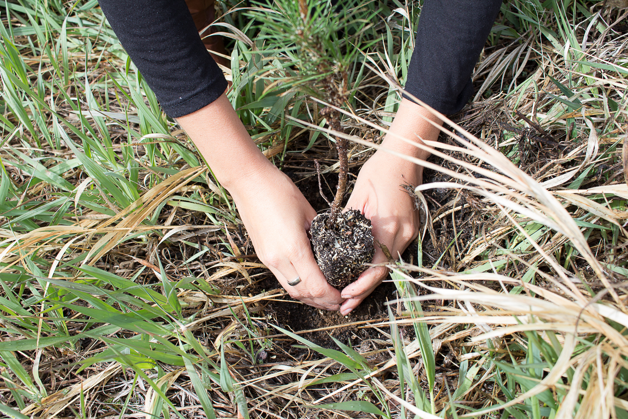 hands planting a sapling
