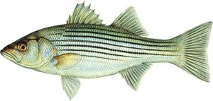 striper-illo.png