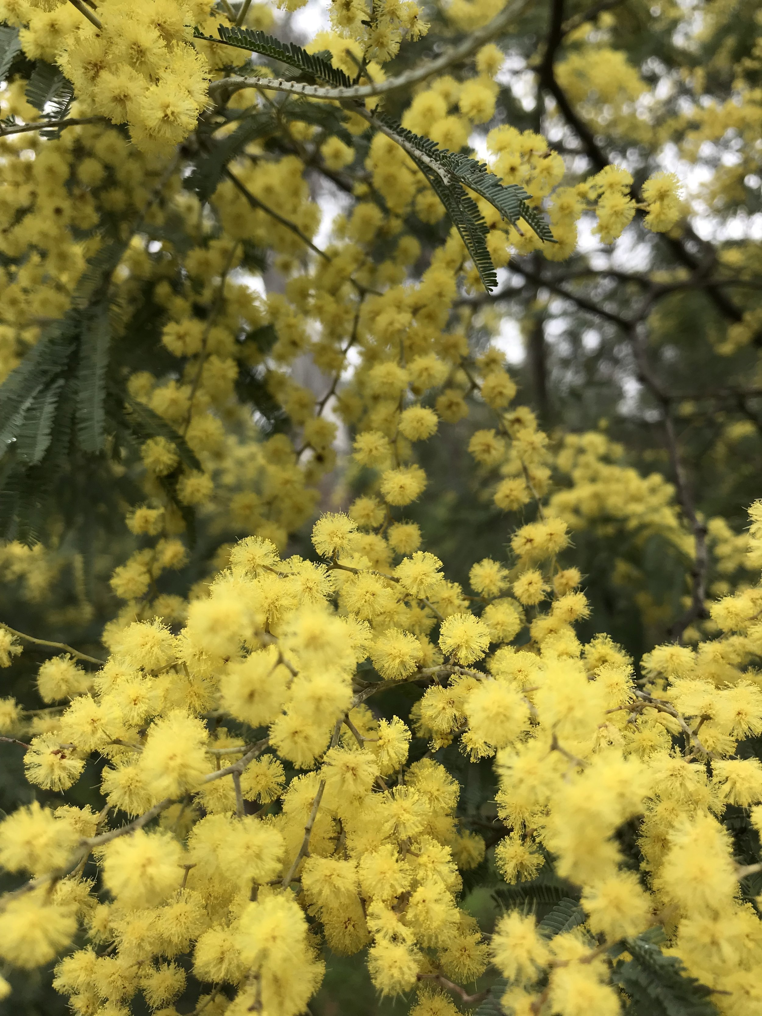 Wattle in Yarra Bend Park on a morning walk contemplating this poem