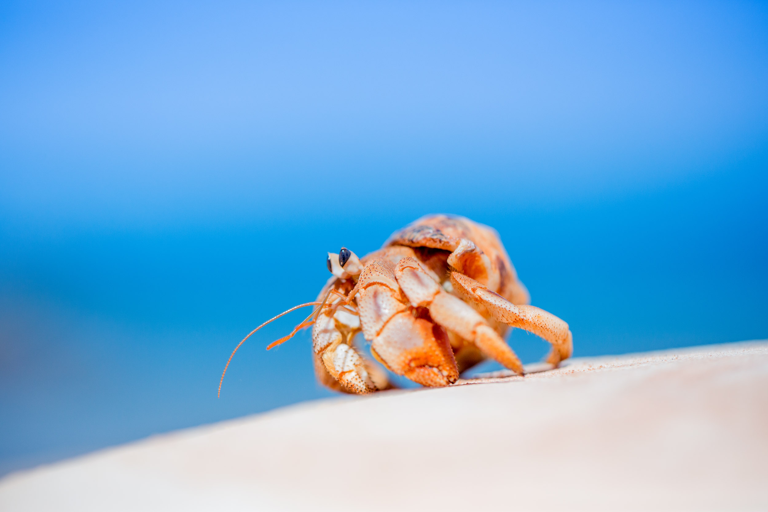hermit-crab-broome-western-australia.jpg