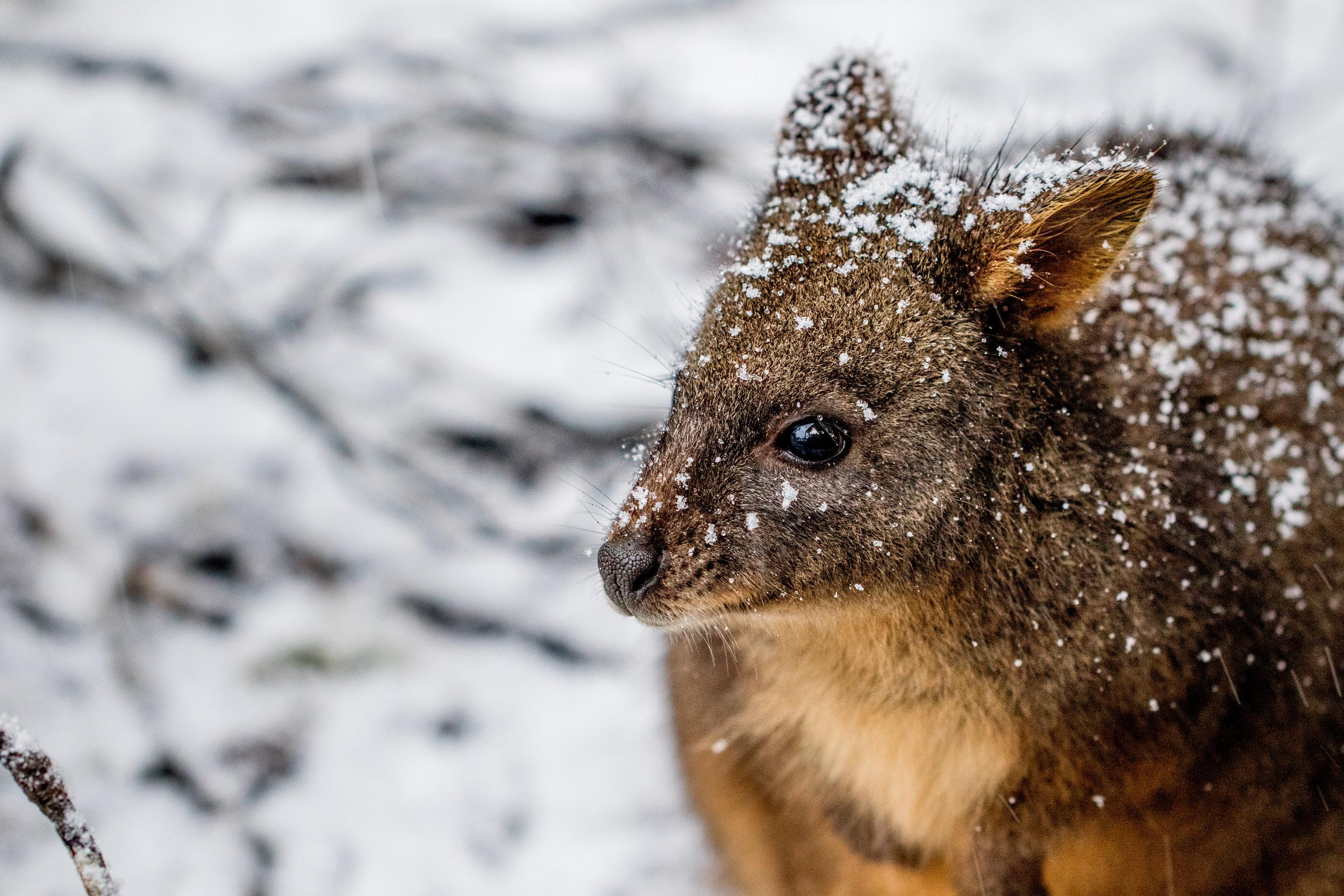 snow-wallaby-tasmania.jpg