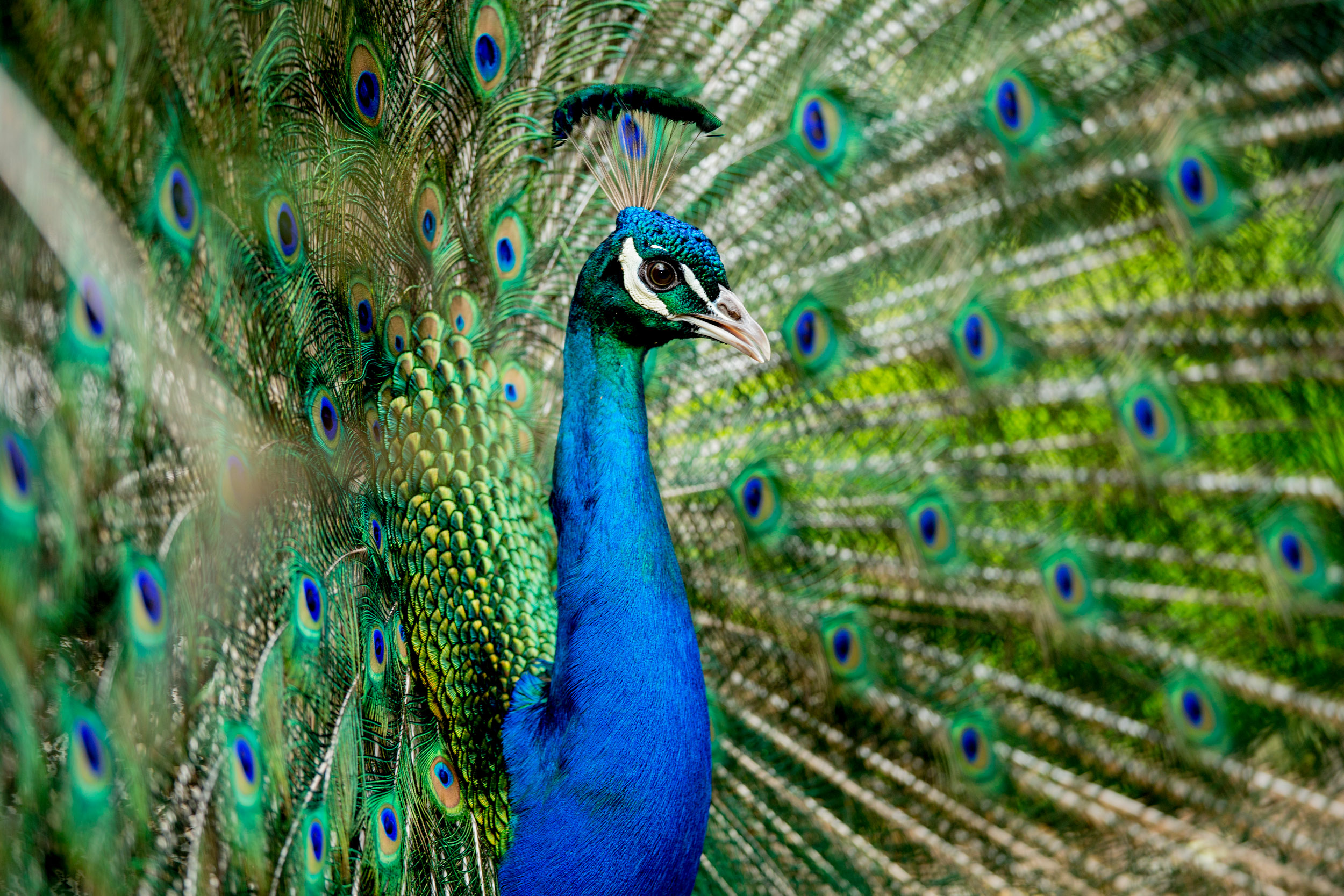 peacock-tasmania-wildlife.jpg