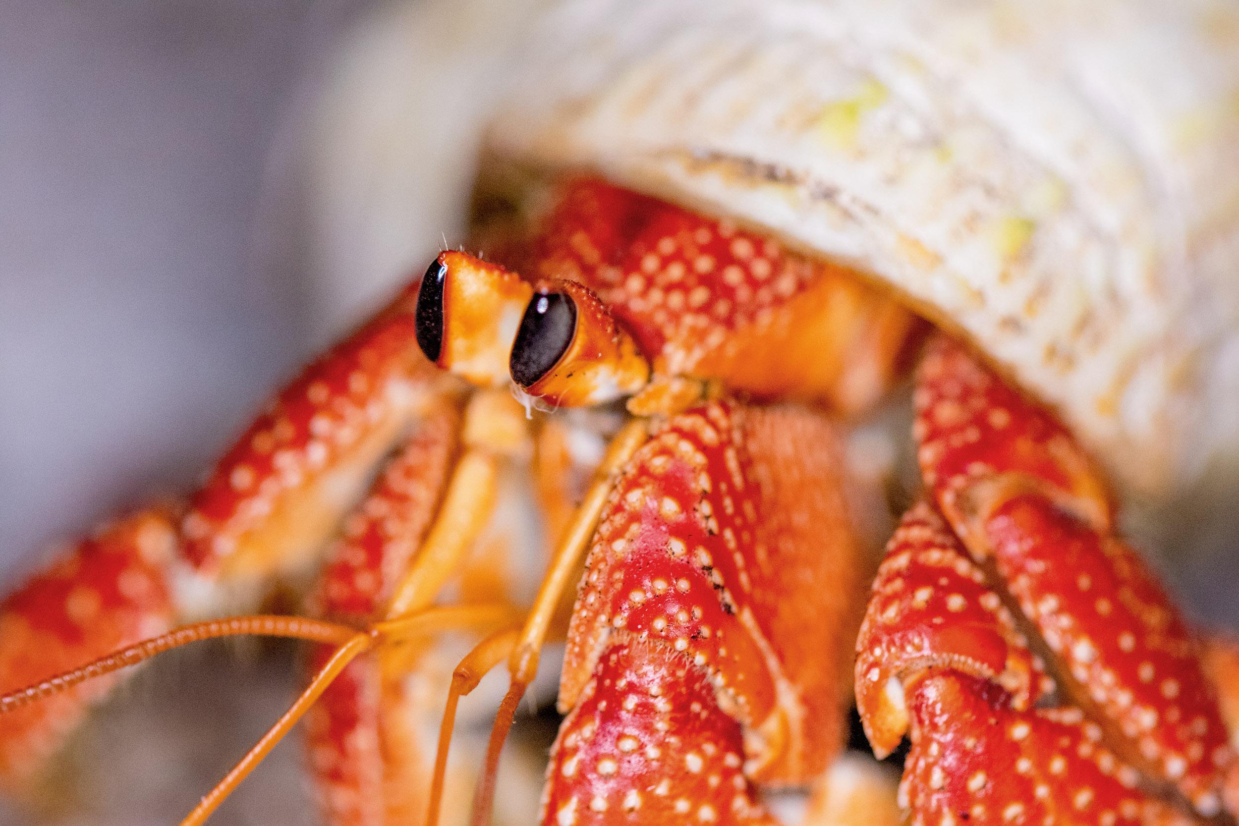 hermit-crab-lady-elliot-island.jpg