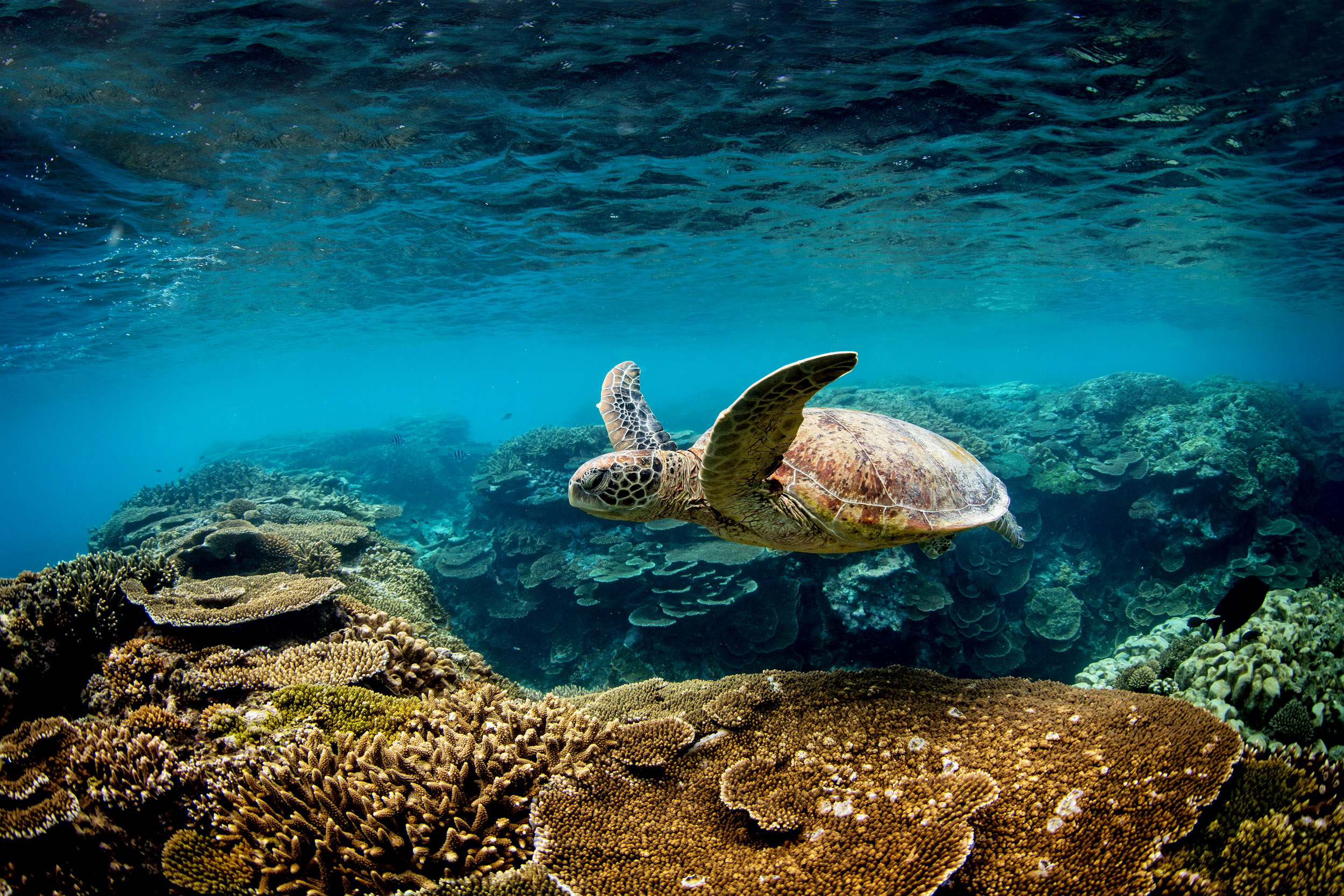 turtles-great-barrier-reef-queensland.jpg