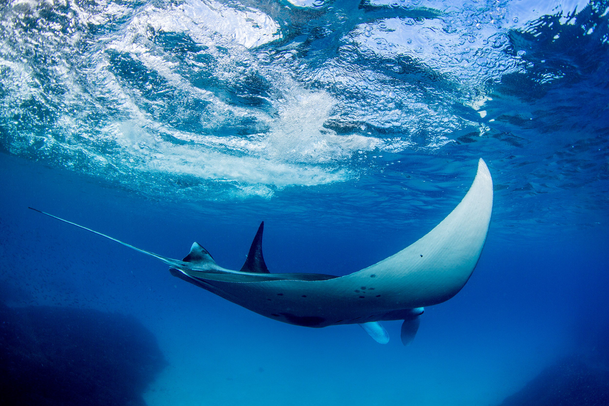 manta-rays-lady-elliot-island-queensland.jpg