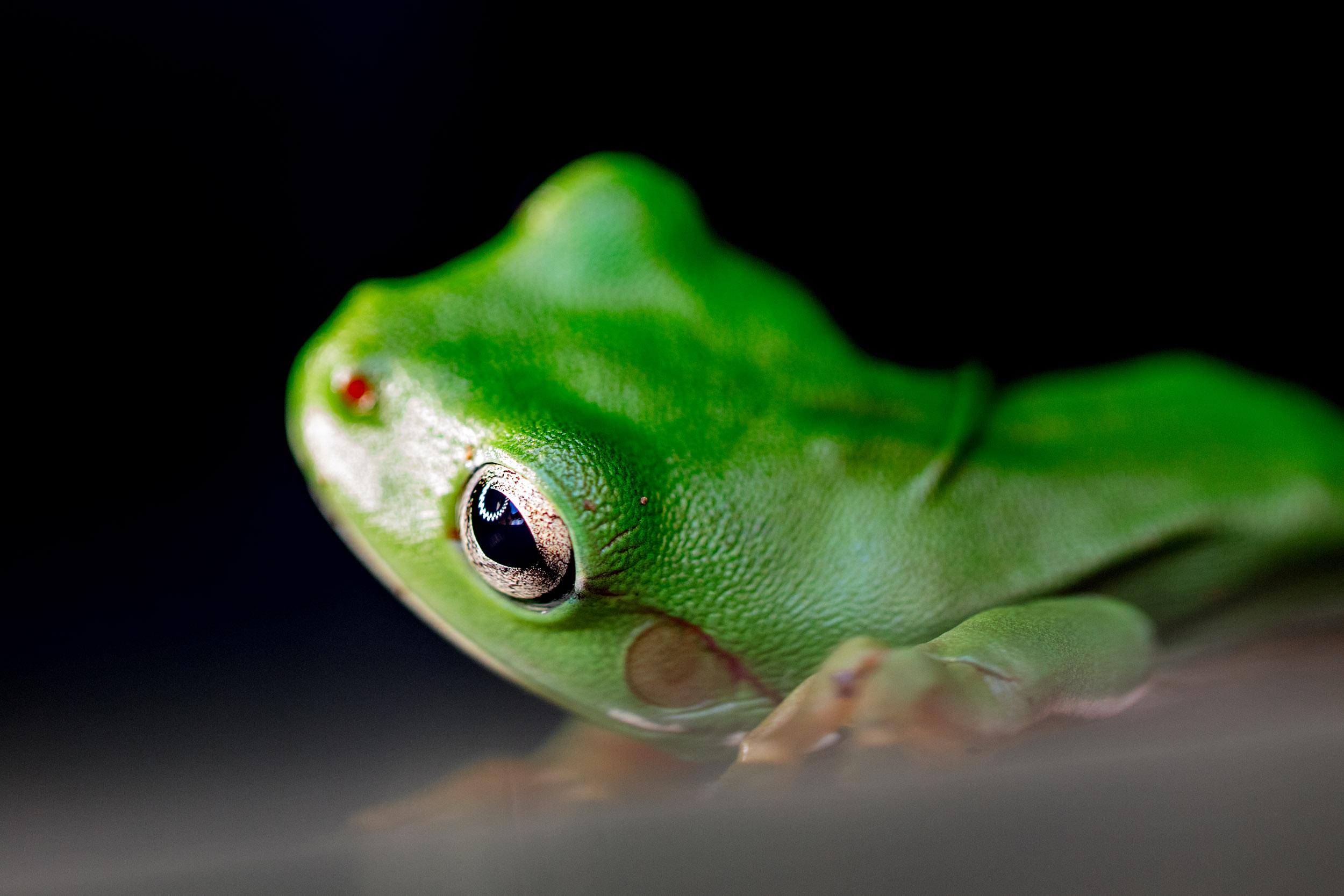frogs-atherton-tablelands.jpg