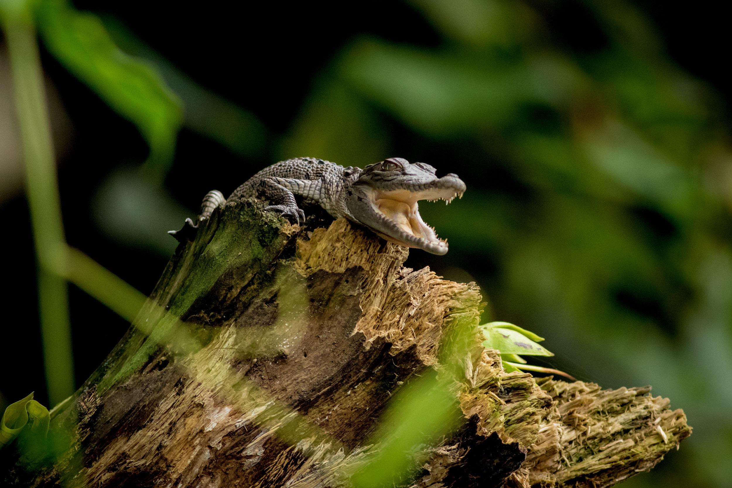 baby-crocodile-daintree-river.jpg