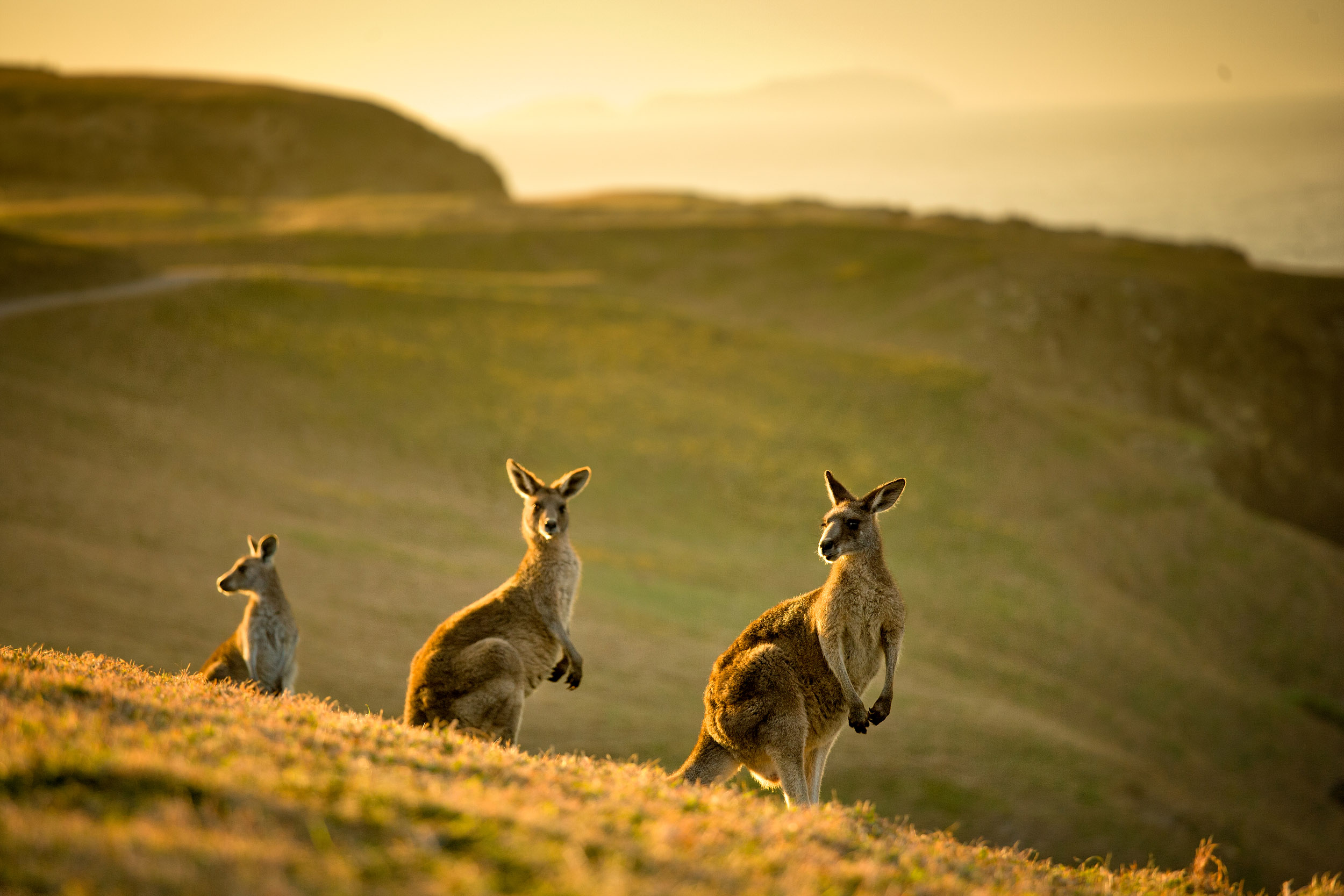 kangaroos-emerald-beach-headland-nsw.jpg