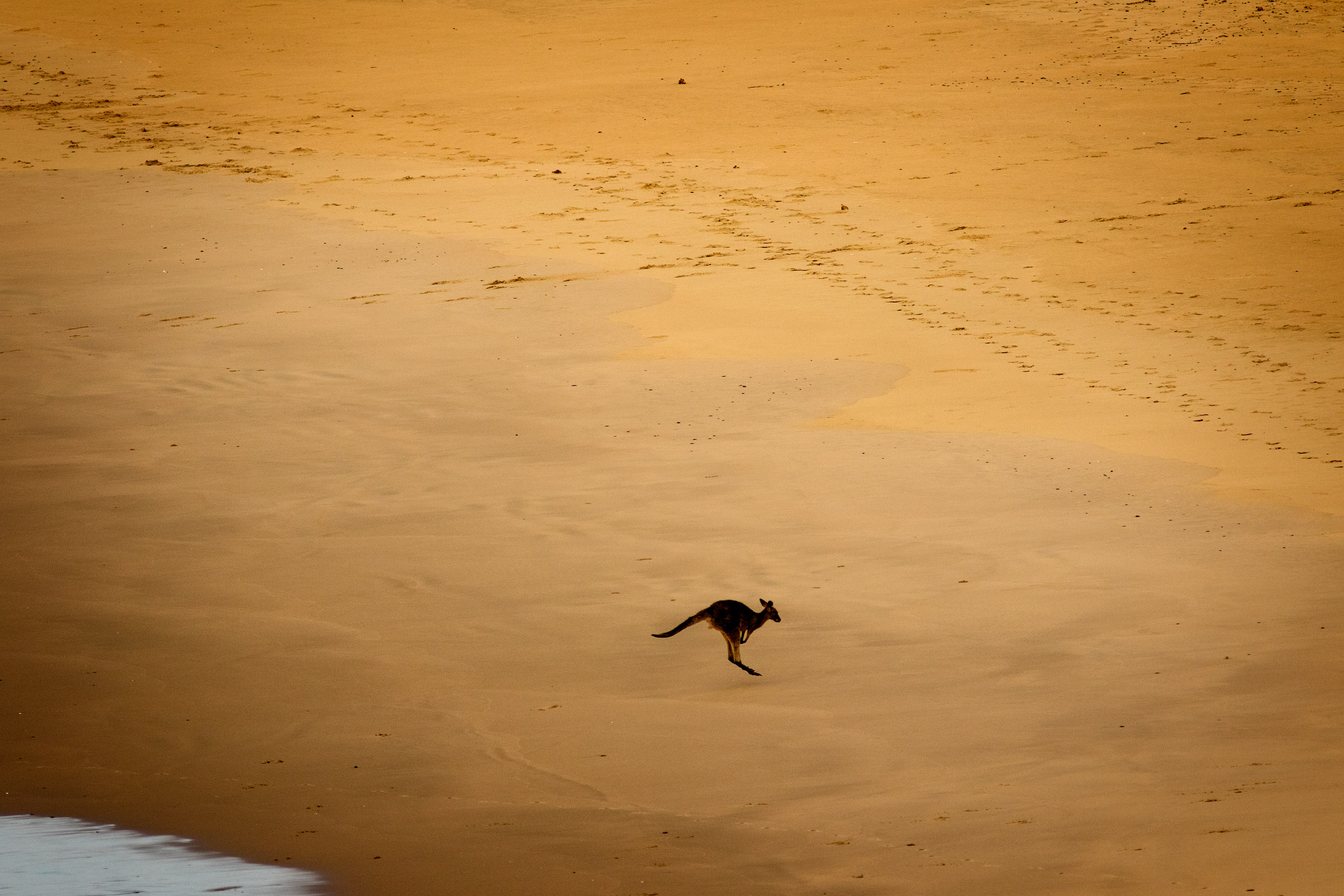 kangaroos-on-beach.jpg