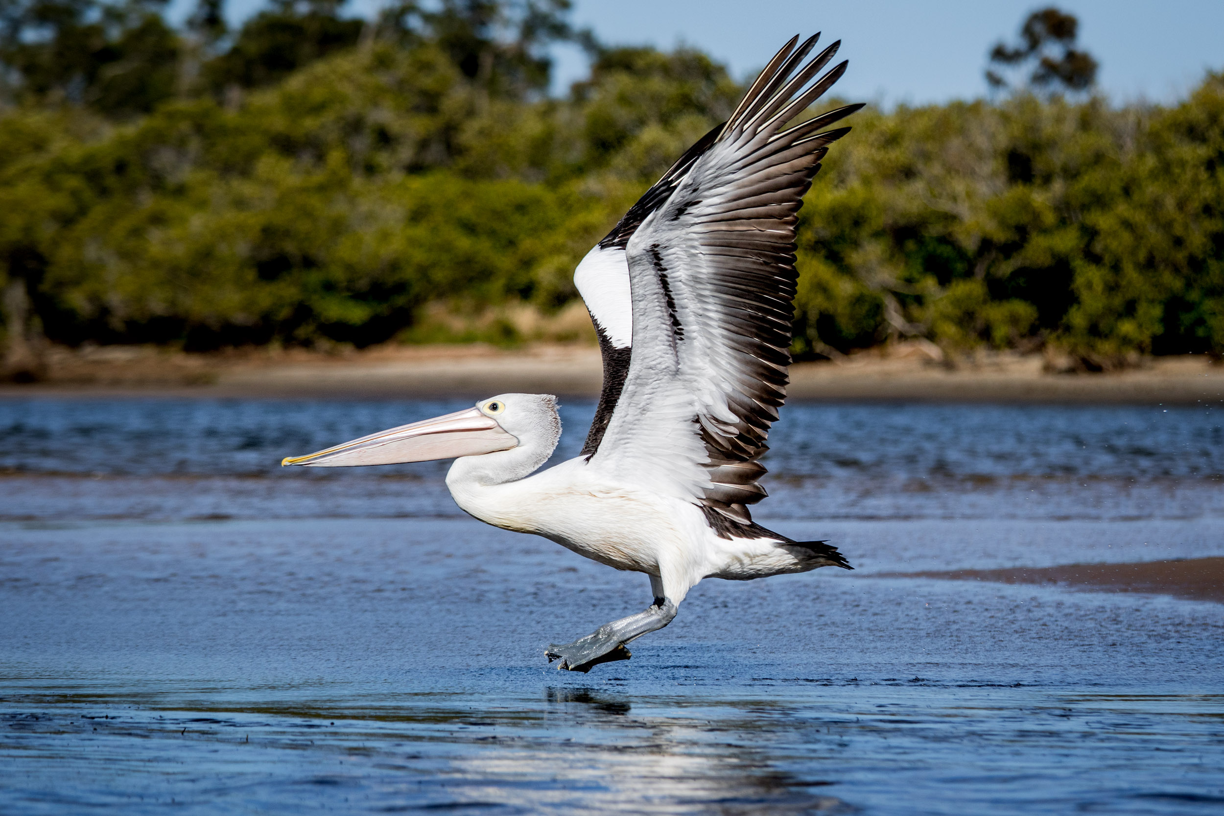 pelican-in-flight-mid-north-coast.jpg