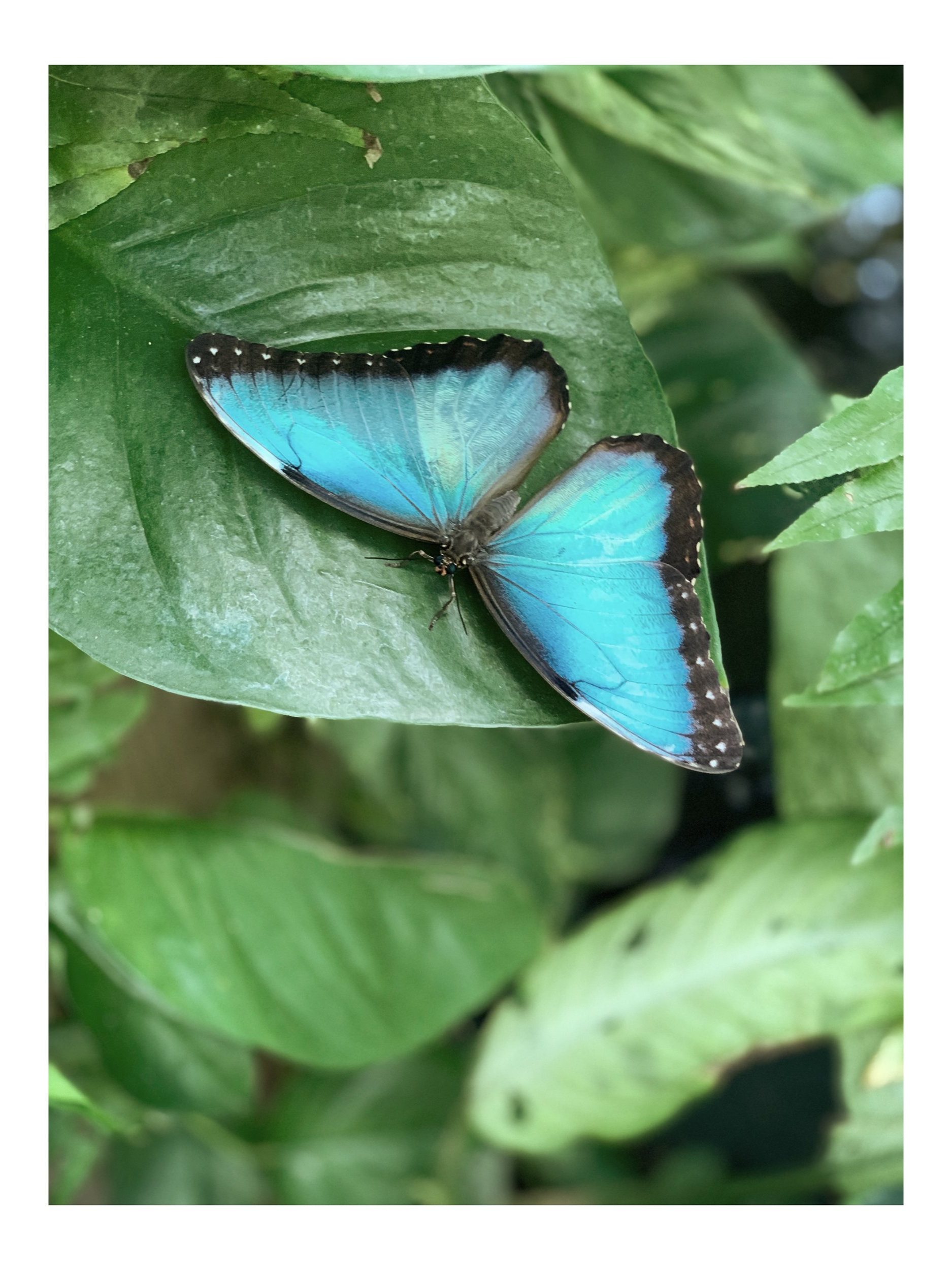 blue+morpho.jpg