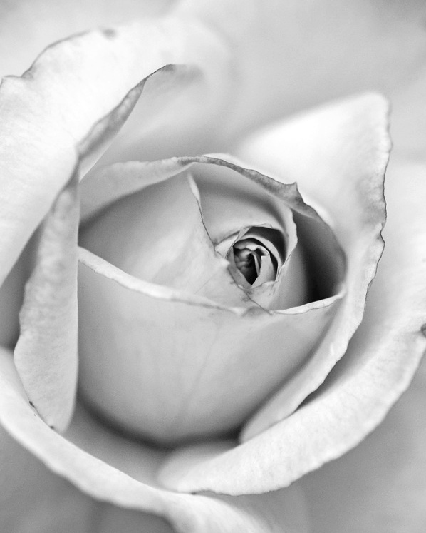 monochrome+rose+upclose.jpg