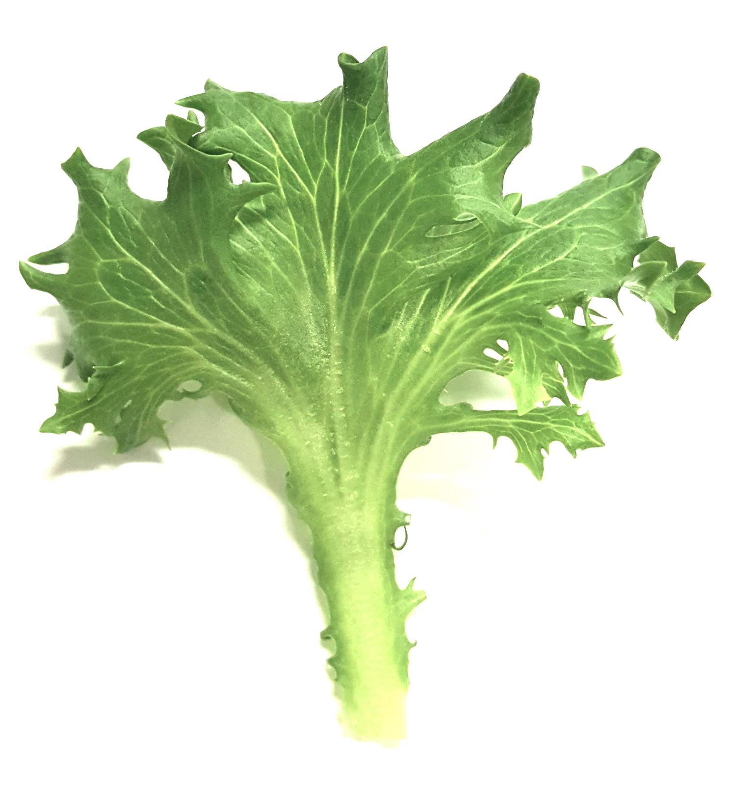 Green Sweet Crisp lettuce - Crisp & CrunchyFor salads, sandwiches, wraps