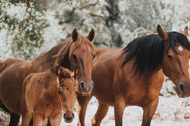 This family 💛🌿✨ these three are so close. Like I've said before, Athena and Aria are best friends - and they really have been raising this one together! When they rest, these three rest like this 💛 usually with little A in the middle, all in a line :) It makes me so happy to see! Their bonds are so close ♥️ #wildhorses #wildhorsesanctuary