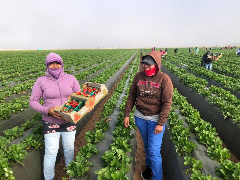 Dos trabajadoras de campo cosechando fresas en la finca de Vizcaino. Foto: Andrew & Williamson