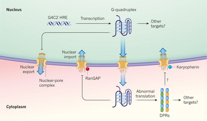 Both G4C2 repeat RNAs and DPRs disrupt nucleocytoplasmic transport (Fox and Tibbetts, Nature, 2015).
