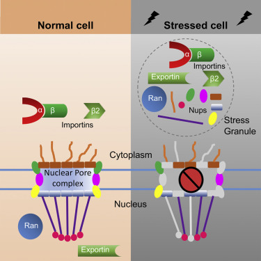 Stress granule assembly disrupts nucleocytoplasmic transport and contributes to neurodegeneration (Zhang et al., Cell, 2018).
