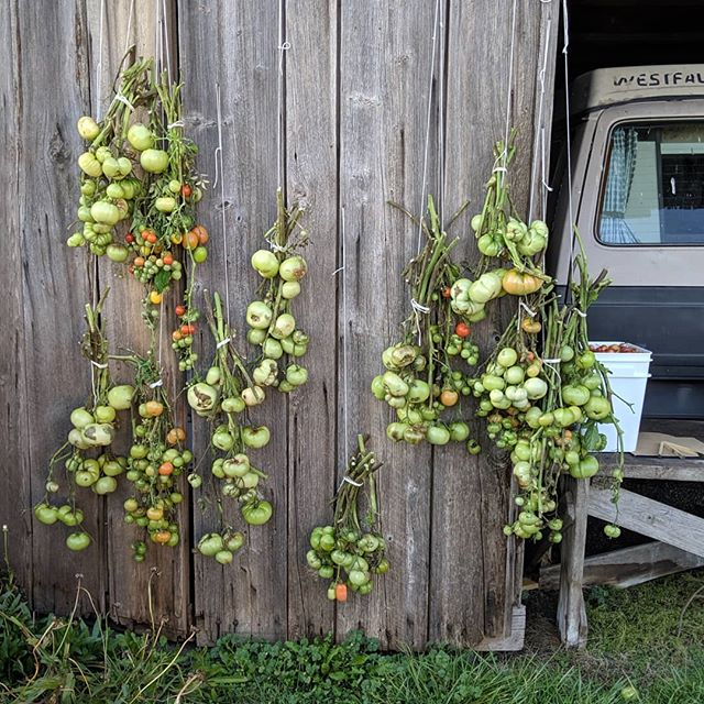 Looking for tomatoes? We will be bringing vine bundles for ripening at home to the Greenbank Harvest Faire tomorrow. Hope to see you there!