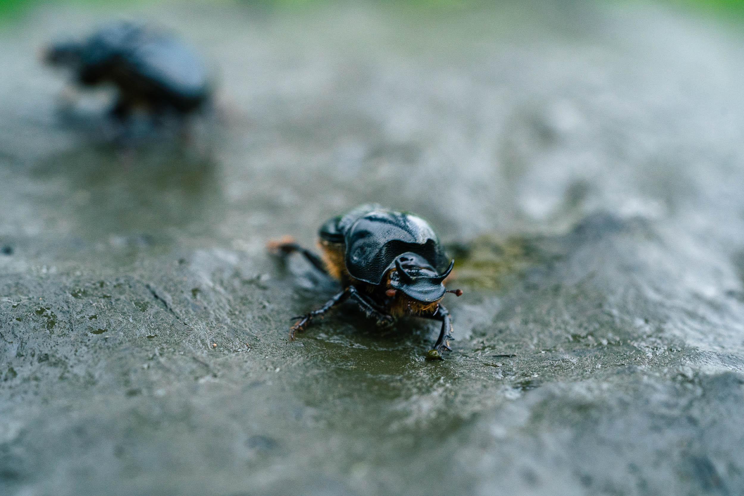 Dung Beetle_SA904280_DIGITAL.jpg