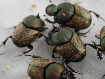 Onthophagus vacca  males have a single horn.
