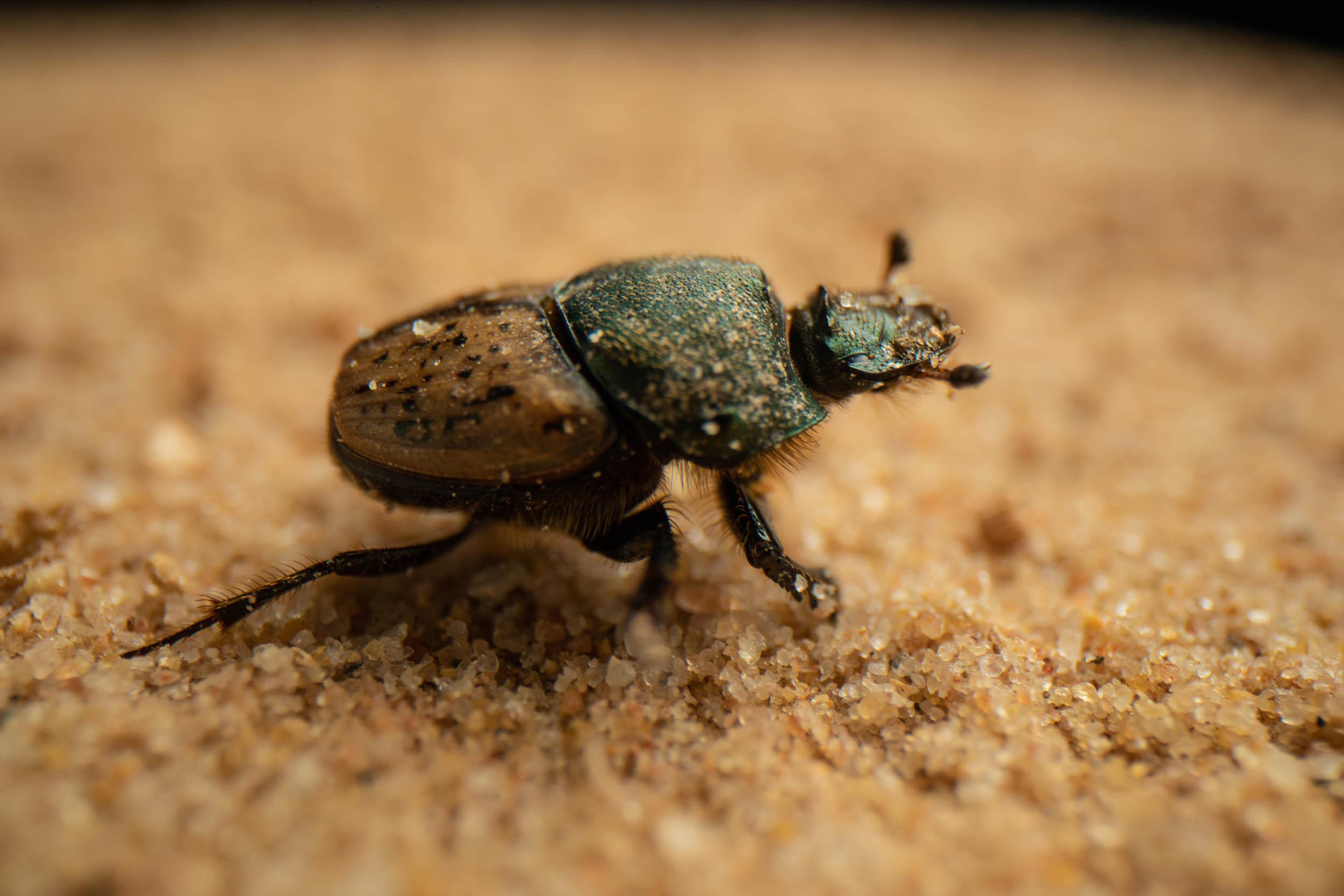 Onthophagus vacca .