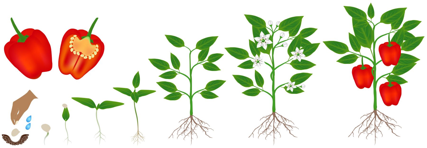 Life Cycle of a Plant — Kentucky Ready Set Grow